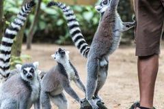 Η δαχτυλίδι-παρακολουθημένη σίτιση κερκοπιθήκων από τον εργαζόμενο ζωολογικών κήπων στο ζωολογικό κήπο του Μπαλί, Ινδονησία Στοκ εικόνα με δικαίωμα ελεύθερης χρήσης