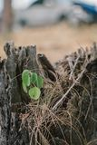 Η αύξηση εγκαταστάσεων στο δέντρο θανάτου προσπαθεί στον επιζόντα Στοκ Εικόνα