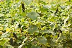 Η αύξηση και η άνθιση των αγγουριών θερμοκηπίων τα αγγούρια του Μπους trellis Κατακόρυφη καλλιέργεια αγγουριών growing Στοκ εικόνα με δικαίωμα ελεύθερης χρήσης
