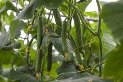 Η αύξηση και η άνθιση των αγγουριών θερμοκηπίων τα αγγούρια του Μπους trellis Κατακόρυφη καλλιέργεια αγγουριών Αυξανόμενο οργανικ Στοκ Εικόνες