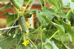 Η αύξηση και η άνθιση των αγγουριών θερμοκηπίων τα αγγούρια του Μπους trellis Κατακόρυφη καλλιέργεια αγγουριών Αυξανόμενο οργανικ Στοκ φωτογραφίες με δικαίωμα ελεύθερης χρήσης
