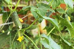 Η αύξηση και η άνθιση των αγγουριών θερμοκηπίων τα αγγούρια του Μπους trellis Κατακόρυφη καλλιέργεια αγγουριών Αυξανόμενο οργανικ Στοκ εικόνες με δικαίωμα ελεύθερης χρήσης