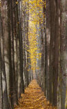 Η αλέα φθινοπώρου με τα κίτρινα φύλλα Στοκ Φωτογραφίες