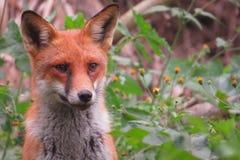 Η αλεπού Στοκ εικόνα με δικαίωμα ελεύθερης χρήσης