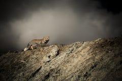 Η αλεπού Στοκ εικόνες με δικαίωμα ελεύθερης χρήσης