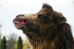 Η βακτριανή καμήλα μασά το σακχαρότευτλο στοκ εικόνες με δικαίωμα ελεύθερης χρήσης