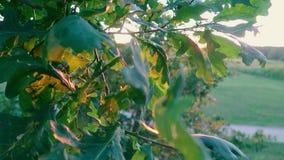 Η βαλανιδιά αφήνει την κινηματογράφηση σε πρώτο πλάνο στους κλάδους δέντρων σε ένα δάσος σε ένα κλίμα ηλιοβασιλέματος απόθεμα βίντεο