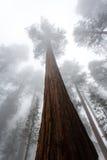Η βαριά υδρονέφωση καλύπτει το γιγαντιαίο sequoia δάσος ως προσεγγίσεις νύχτας Στοκ εικόνα με δικαίωμα ελεύθερης χρήσης