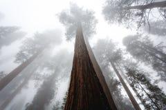Η βαριά υδρονέφωση τυλίγει τις κορυφές του γιγαντιαίου sequoia δάσους δέντρων pproaches Στοκ φωτογραφία με δικαίωμα ελεύθερης χρήσης