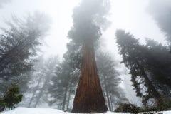 Η βαριά υδρονέφωση τυλίγει το γιγαντιαίο sequoia δάσος ως προσεγγίσεις νύχτας Στοκ εικόνες με δικαίωμα ελεύθερης χρήσης