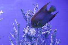 Η βασίλισσα angelfish επιπλέει κάτω Στοκ εικόνα με δικαίωμα ελεύθερης χρήσης