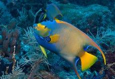 Η βασίλισσα Angelfish στο σκόπελο μελασών, κλειδώνει βραδύτατο, Florida Keys Στοκ Εικόνες