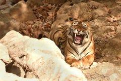 Η βασιλική τίγρη της Βεγγάλης επιδεικνύει ένα μεγάλο χασμουρητό Στοκ Φωτογραφία