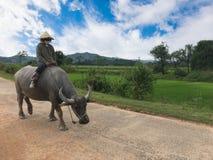 Η βιετναμέζικη γυναίκα οδηγά τους βούβαλους Στοκ Φωτογραφία