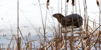 Η βορειοαμερικανική ενυδρίδα ποταμών (canadensis Lontra) στις άγρια περιοχές, χαλαρώνει επάνω στο χιόνι καλαμποκιού πάγου & άνοιξ Στοκ εικόνα με δικαίωμα ελεύθερης χρήσης