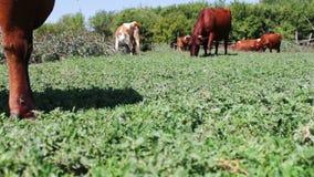 Η βοσκή αγελάδων βοοειδών σε έναν τομέα κοντά επάνω βλέπει Αγελάδα γάλακτος που τρώει τη χλόη Βοσκή αγροτικών βοοειδών στο λιβάδι φιλμ μικρού μήκους