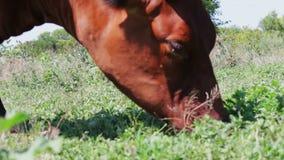 Η βοσκή αγελάδων βοοειδών σε έναν τομέα κοντά επάνω βλέπει Αγελάδα γάλακτος που τρώει τη χλόη Βοσκή αγροτικών βοοειδών στο λιβάδι απόθεμα βίντεο