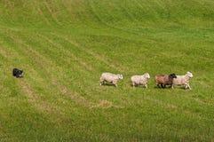 Η βοσκή του σκυλιού παρατάσσει τα πρόβατα Ovis aries Στοκ Φωτογραφίες