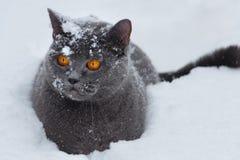 Η βρετανική γάτα κάθεται βαθύ snowdrift στοκ εικόνες