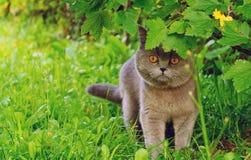 Η βρετανική κοντή γάτα τρίχας βρίσκεται στην ενέδρα Στοκ Φωτογραφία