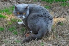 Βρετανική μπλε γάτα Στοκ Εικόνες