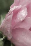 Η βροχή σε έναν ρόδινο αυξήθηκε Στοκ Φωτογραφία