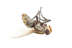 Η βρώμικη νεκρή μύγα απομονώνει Στοκ Φωτογραφία
