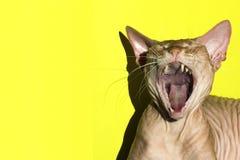 Η γάτα άνοιξε το στόμα της ευρέως Κινηματογράφηση σε πρώτο πλάνο Το ρόδινο καναδικό Sphynx τραγουδά ή κραυγάζει meow στοκ εικόνα με δικαίωμα ελεύθερης χρήσης