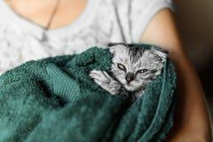 Η γάτα έπλυνε σε μια πετσέτα, ένας αυταράς Σκωτσέζος, Βρετανοί αυταράς Στοκ Εικόνες