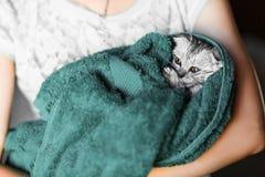 Η γάτα έπλυνε σε μια πετσέτα, ένας αυταράς Σκωτσέζος, Βρετανοί αυταράς Στοκ Φωτογραφίες