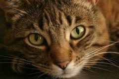 η γάτα αγαπά τιγρέ εσείς στοκ εικόνες