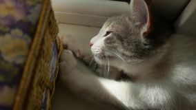 Η γάτα ακονίζει τα νύχια όμορφο φως πρωινού γατών με ένα παράθυρο κατοικίδιων ζώων, χαριτωμένο γατάκι Στοκ Φωτογραφία