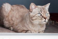 Η γάτα αναπαράγει σκωτσέζικο ευθύ Στοκ Εικόνες