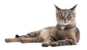 η γάτα ανασκόπησης απομόνωσε το λευκό Στοκ εικόνα με δικαίωμα ελεύθερης χρήσης