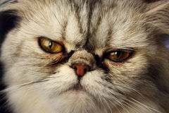 η γάτα αντιμετώπισε επίπεδ& Στοκ φωτογραφία με δικαίωμα ελεύθερης χρήσης