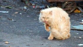 Η γάτα απορριμάτων κρέμας με ένα κακόβουλο βλέμμα πλένει απόθεμα βίντεο