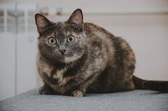 Η γάτα βρίσκεται στον καναπέ Στοκ Φωτογραφίες