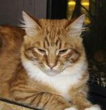 Η γάτα βρίσκεται στο γκρίζο ξύλινο υπόβαθρο Στοκ Φωτογραφίες
