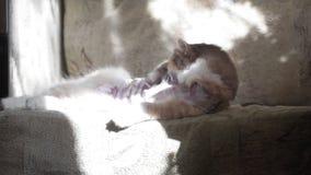 Η γάτα γλείφει το μαλλί στον καναπέ απόθεμα βίντεο