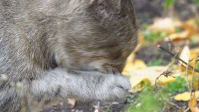Η γάτα γλείφει το πόδι και τα πλυσίματα φιλμ μικρού μήκους