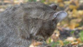 Η γάτα γλείφει το πόδι και τα πλυσίματα απόθεμα βίντεο