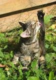 η γάτα γλείφει το πόδι στοκ φωτογραφίες