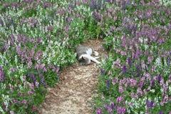 Η γάτα είναι ένας ζωικός ύπνος χρώματος θηλαστικά και κατοικίδια ζώα τύπων τόσο χαριτωμένος γκρίζος με lavender τους τομείς Στοκ Εικόνες