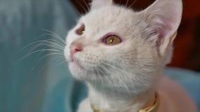 Η γάτα είναι λευκό χασμουρητού το χασμουρητό γατακιών γατών θέλει να κοιμηθεί το κατοικίδιο ζώο εσωτερικό απόθεμα βίντεο