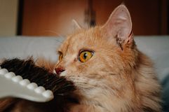 Η γάτα είναι μυρωδιά η βούρτσα του και να φανεί κάτι στοκ φωτογραφία με δικαίωμα ελεύθερης χρήσης