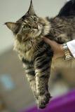 η γάτα εμφανίζει Στοκ εικόνα με δικαίωμα ελεύθερης χρήσης