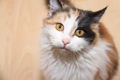 Η γάτα εξετάζει με στοκ εικόνες