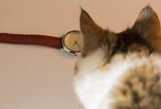 Η γάτα εξετάζει το ρολόι Στοκ Φωτογραφία