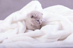 Η γάτα θέτει για τις φωτογραφίες Στοκ Εικόνα