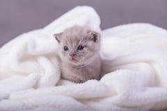 Η γάτα θέτει για τις φωτογραφίες Στοκ εικόνα με δικαίωμα ελεύθερης χρήσης